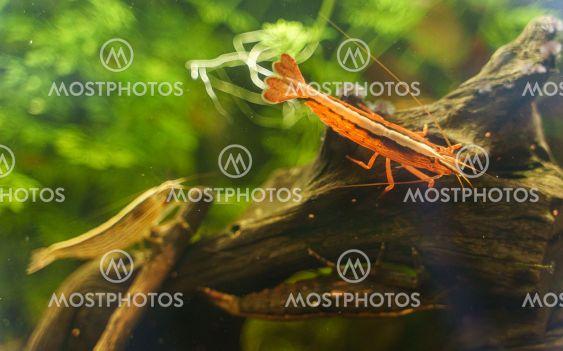 Freshwater Bamboo Shrimp sitting on a snag. Atyopsis...