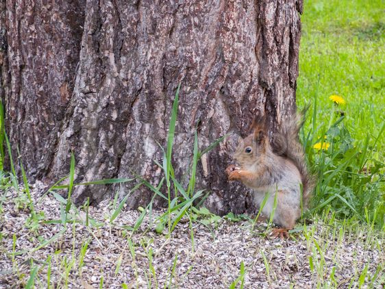 Orava syö