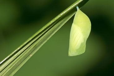 tropical butterfly pupa