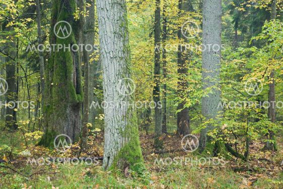 Old autumnal forest with oak in foreground