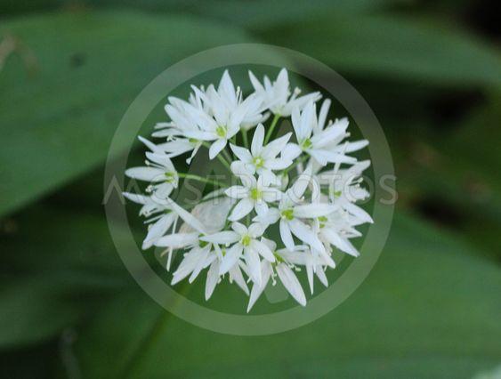 ramsons, buckrams or wild garlic (Allium ursinum)...