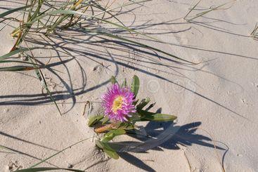 Single Tropical Beach Flower. Frazer Island.