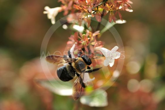 Optaget som en Bee