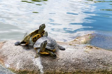 two water turtles on the rock