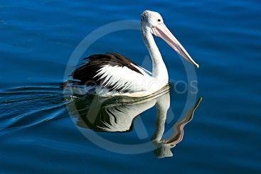 Australian Pelican Reflections Swiming Close-up.