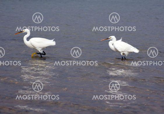 Couple of herons