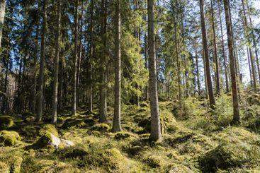 Grön och mossig granskog