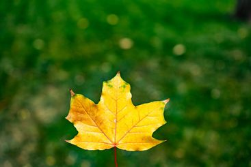 yellow maple leaf on the green grass of the lawn.