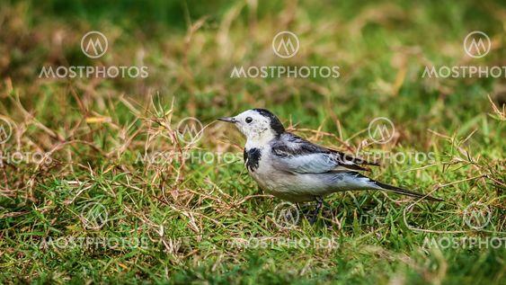 Bird, White Wagtail, Motacilla alba, M. a. leucopsis on...