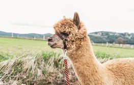 Fluffy Alpaca with rein