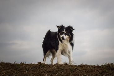 Border collie is standing on the field.