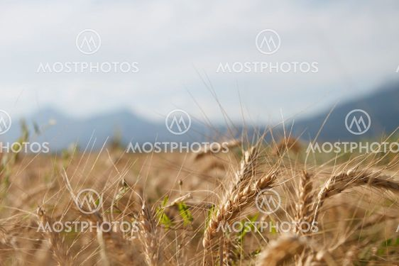 Landscape view of the field with ears of wheat in the...