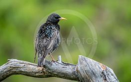 Showy Starling perching on the old pine branch