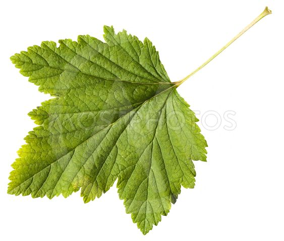 green leaf of Blackcurrant plant (Ribes nigrum)