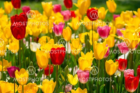 I also liked the colorful tulips in May