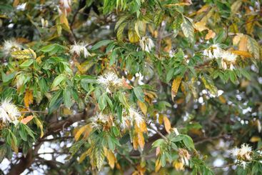 Acacia species flowered in spring in South America