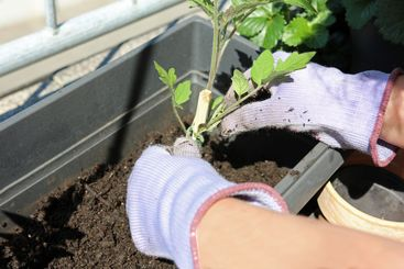 Two hands in gloves planting tomato plant in flowerpot...