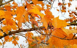 Branches of autumn maple tree with bright orange  leaves
