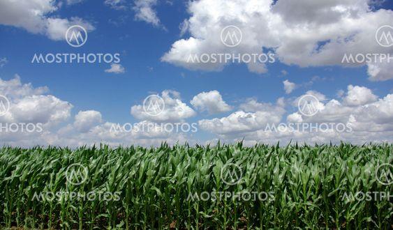 field of green maize