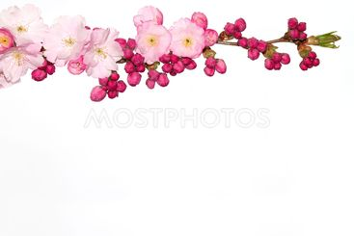 Cherry flowers, white background.