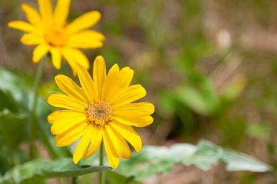 Wild Yellow Daisy