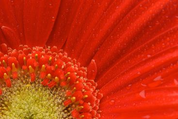 Macro Red Gerber Daisy with Water Drops