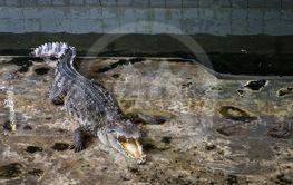 Crocodiles Resting