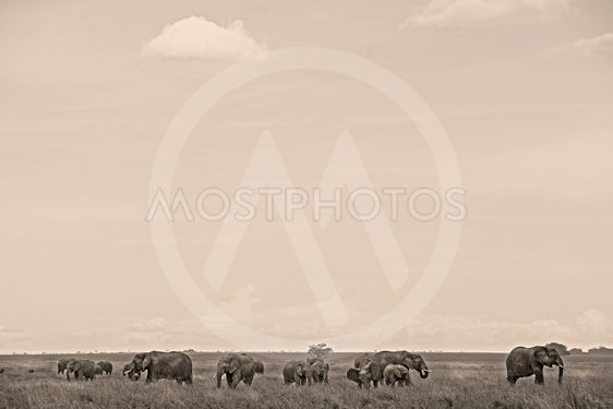 Hord of elephants