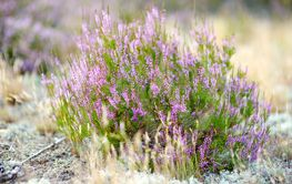 Detail of a flowering heather plant in Lithuanian...