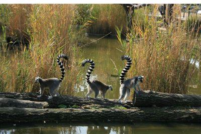 Three funny lemurs