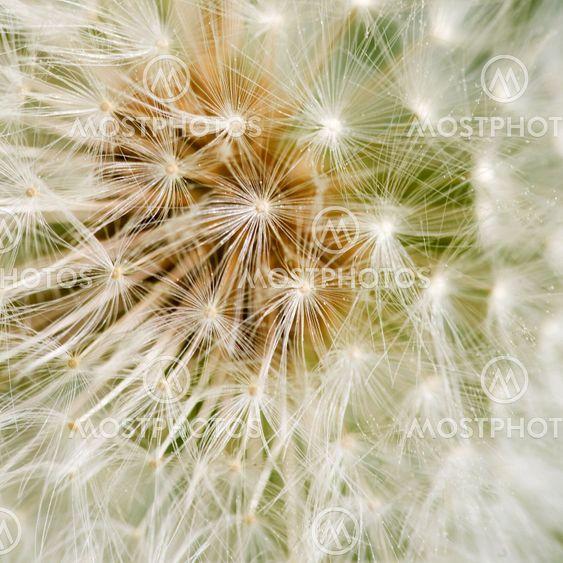 Dandelion baggrund