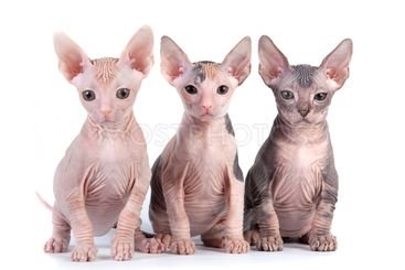 Sphynx kittens with white background