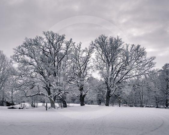 Oak trees in winter