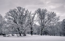 Oak trees in winter