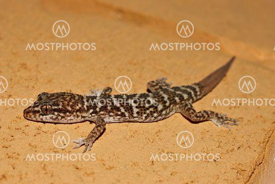 Gecko på sten