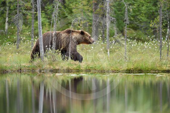 brown bear walking next to the water. brown bear walking...