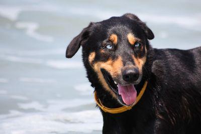 Dog on Beach with Blue Eyes
