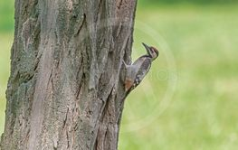 woodpecker sitting on tree against green grass