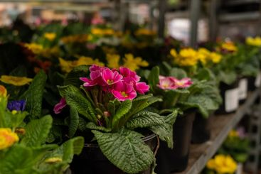 Selective focus on potted primrose flowers on a rack in...