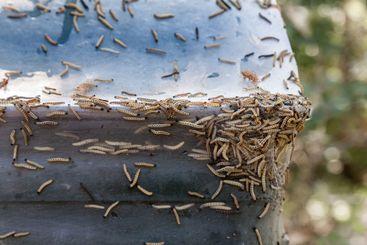 Många Häggspinnmal larver på träd och föremål i Sverige.