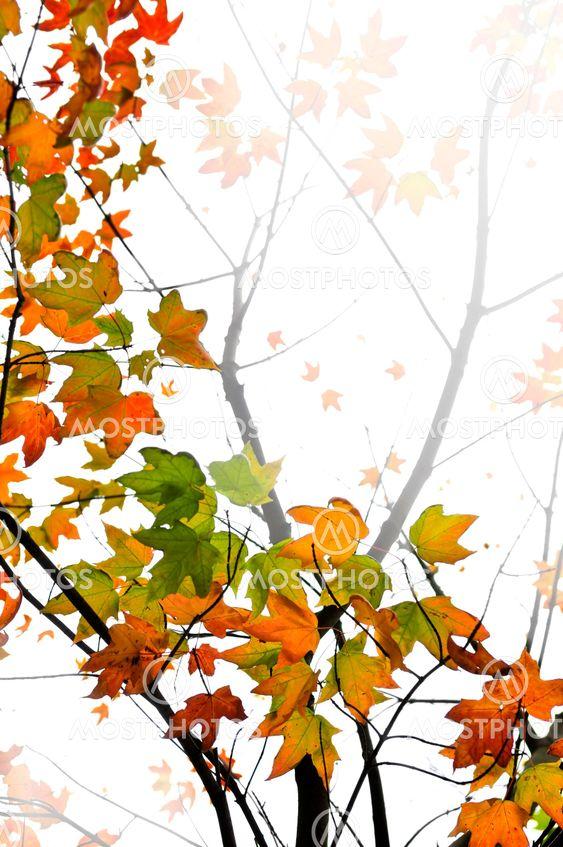 Fald maple forlader baggrund