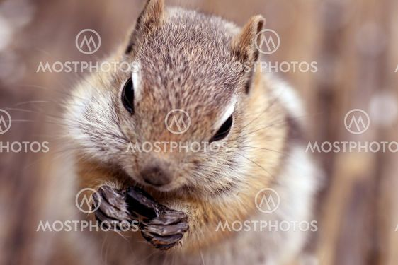Kultainen Mantled Ground Squirrel (Spermophilus lateris)