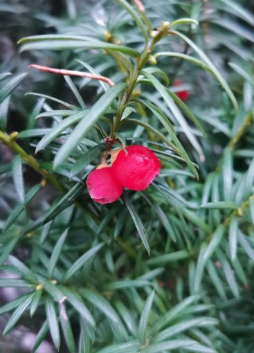 Two Red Yew Berries - Taxus baccata