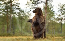 brown bear standing and scratching itself against a tree