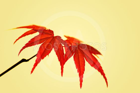 Japanese Maple Acer Palmatum By Ullrichg Mostphotos
