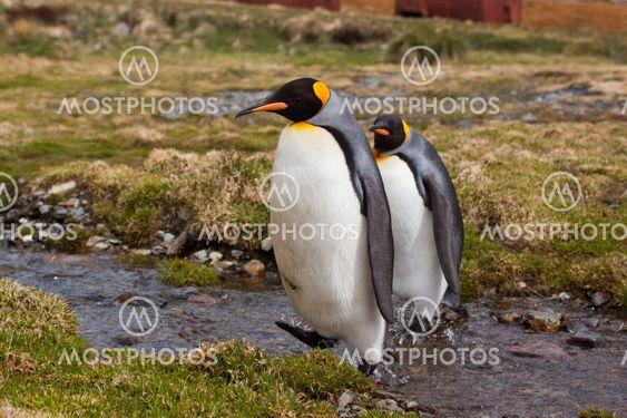 kung pingvin