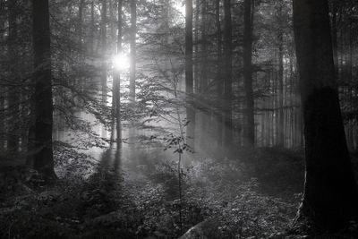 france,forêt de lyons : soleil d'automne entre les hêtres