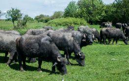 Water buffaloes herd