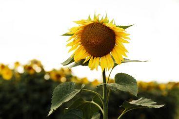Sunflower field. Sunflower natural background. Sunflower...