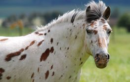 Dotty pony